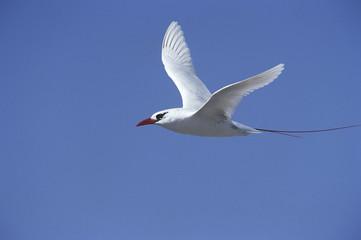 Red Tailed Tropicbird Phaethon rubricauda in flight