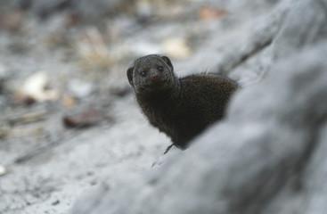 Dwarf Mongoose Helogale parvula, selective focus