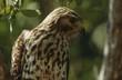 Close-up of Merlin Falco columbarius