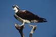 Osprey Pandion haliaetus perching on branch