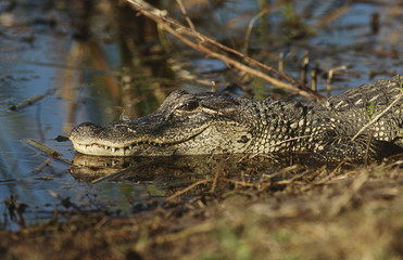 Alligator Alligator mississippiensis in swamp