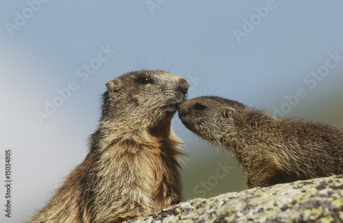 Female marmot with young on rock