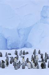 emperor penguin (aptenodytes forsteri) colony