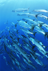School of blackfin barracuda fish