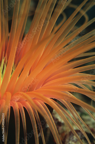 Orange tube anemone, close-up