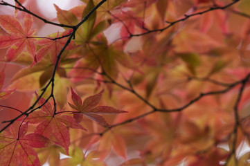 Japan, Nikko, Rinnoji Temple, Maple tree in Fall colors, close-up
