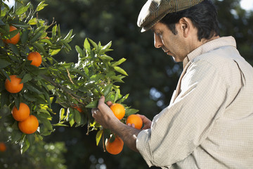 Farmer looking at oranges on tree