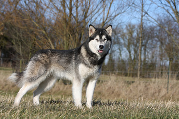 alaskan malamute adulte statique et immobile en campagne