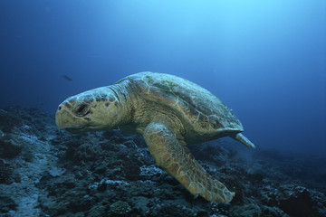 Loggerhead turtle caretta caretta, drifting