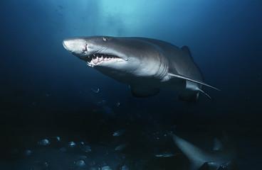 Sand tiger shark carcharias taurus, underwater view