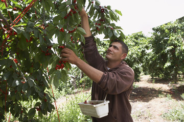 Man Harvesting Cherries