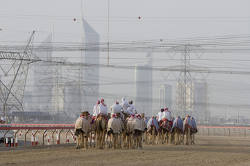 dubai uae camels and jockeys training at nad al sheba camel racetrack at sunset