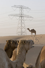 UAE, Dubai, camels at a farm in the desert outside of Dubai