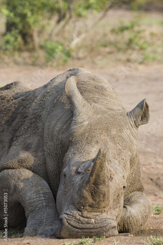 Head of relaxed rhino, wildlife