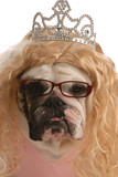 funny bulldog dressed up as ugly princess with blond wig poster