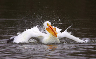 American White Pelican Bathing