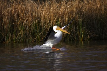 American White Pelican Landing on Water