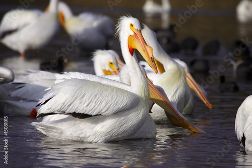 American White Pelicans at White Rock Lake in Dallas  #2