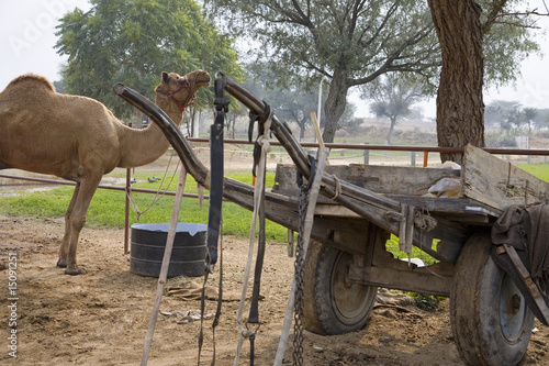 Rajasthan, India, camel in rural area