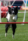 Border Collie beim Agility