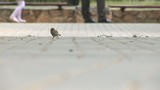 Sparrow in park skips on a path