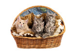 The Maine coon kittens poster