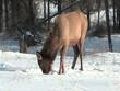 Elk in Jasper Alberta