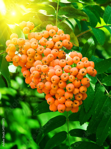 Mountain ash berries on a tree