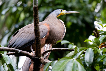 Costa Rica - Heron Tigre