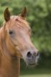 Fototapeten,pferd,fuchs,aufmerksam,pferdekopf