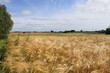 Getreidefeld 3