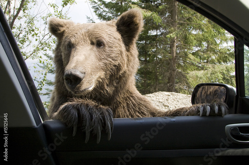Wild Bear On My Car Window