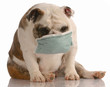 sick or contagious dog - bulldog wearing medical mask