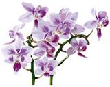 Fototapety Orchidee_Orchideen_Natur