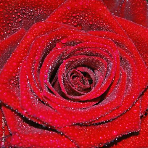 Tau auf Rose q - 15136425