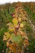 Filare di vite in autunno