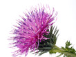 the Cotton Thistle flower isolated on white