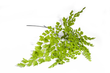 Maidenhair leaves  on white background