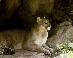Resting puma