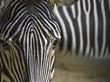 Fototapeten,zebra,biest,tierpark,pferd