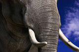 Fototapeta słoń - kości słoniowej - Dziki Ssak