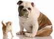 dog and cat fight - bulldog sitting beside complaining kitten