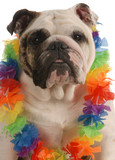 english bulldog dressed up wearing hawaiian lei..