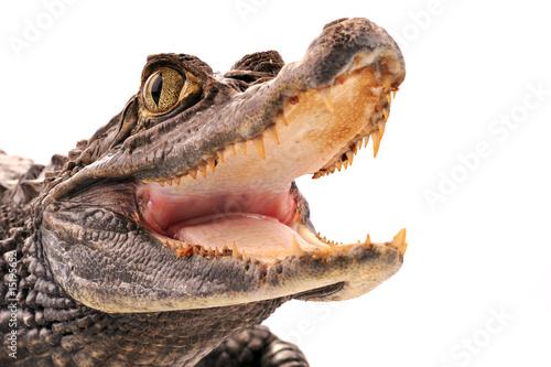 Fotobehang Krokodil Crocodile