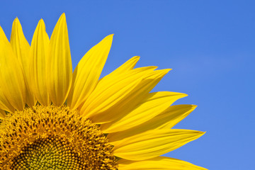 sunflower against a sky background
