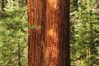 close up of Redwwod tree in forest