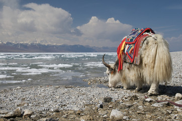 Yak drinking water in Nam-tso Lake