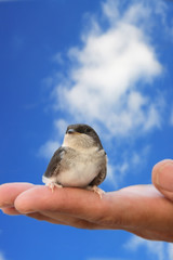 baby bird of a swallow sitting on a hand. Trust to the person.