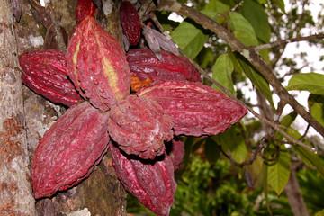 grappe de cabosses de cacao