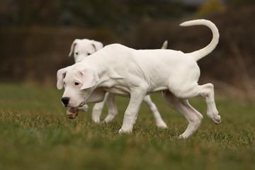 promenade des deux chiots dogue argentin dans l'herbe